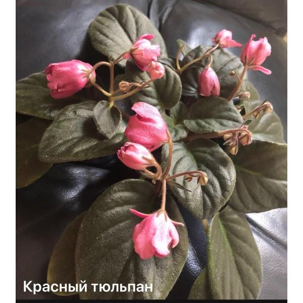 Красный тюльпан Сысорова