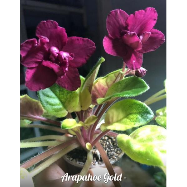 Arapahoe gold