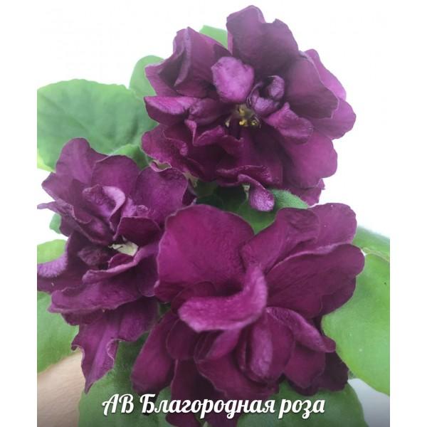 Ав Благородная роза