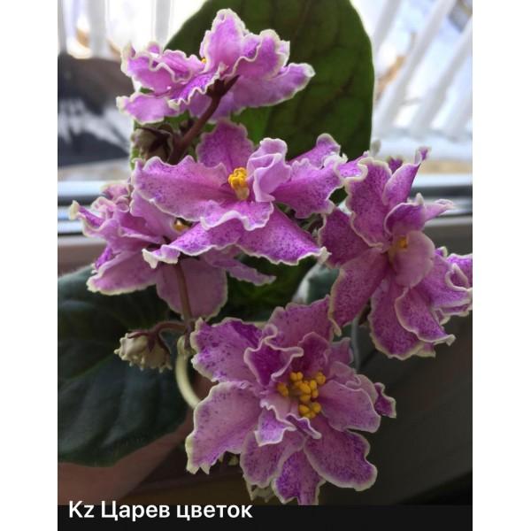 KZ Царев цветок