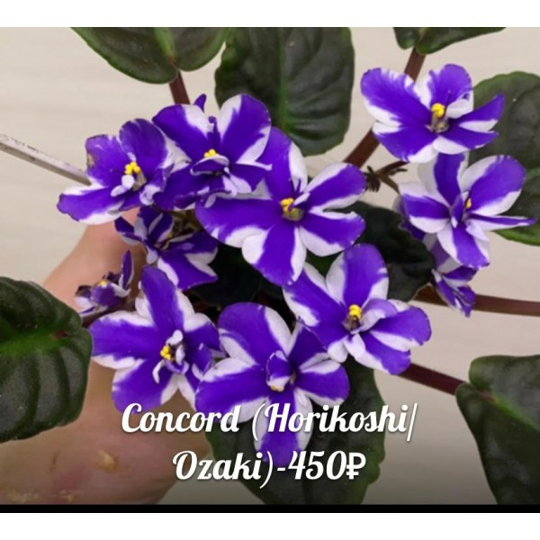 Concord Horikochi\Ozaki