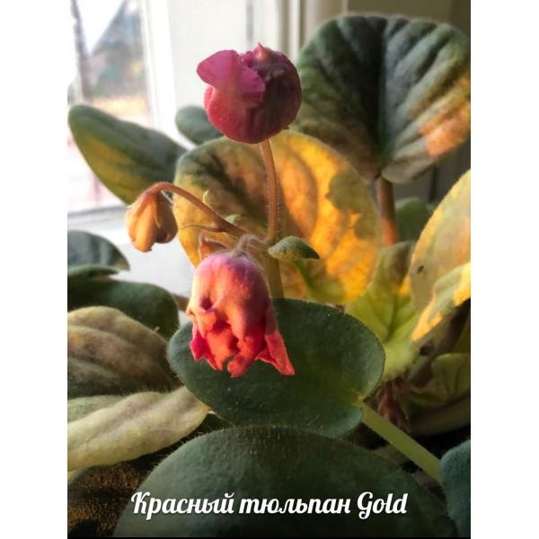 Красный тюльпан gold