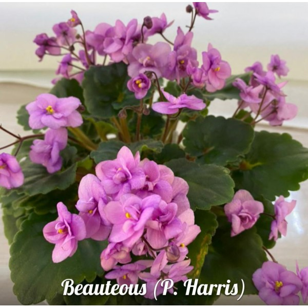 Beauteous (P. Harris)