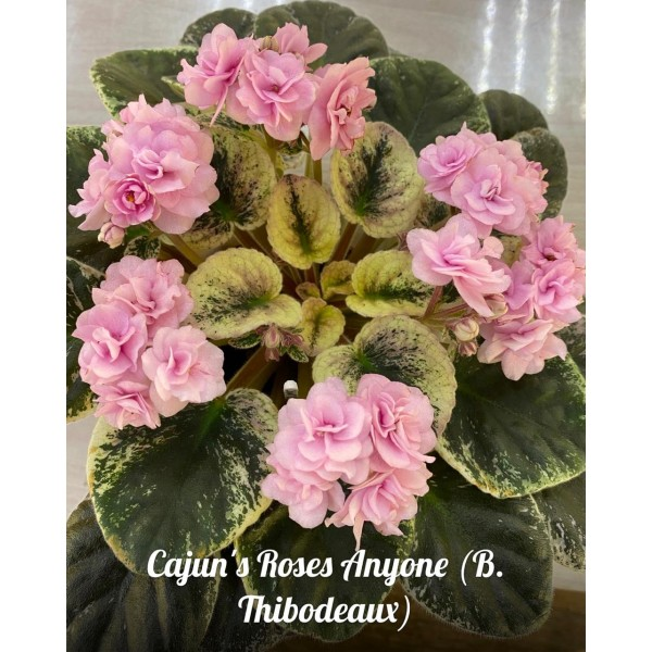 "Cajun""s Roses Anyone"