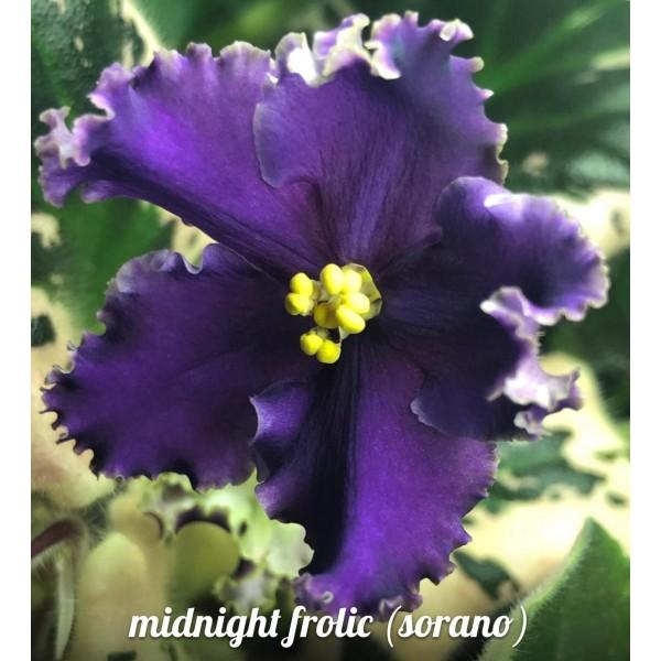 Midnight frolic (Sorano)