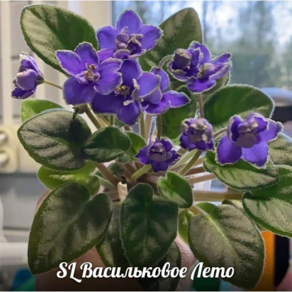 SL Васильковое лето